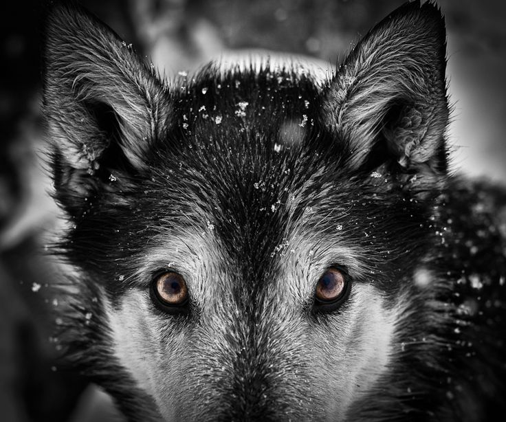 33dbe478a873d0854db6449783956dd7--cry-wolf-cat-s